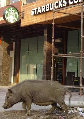 Starbucks and a pig.jpg