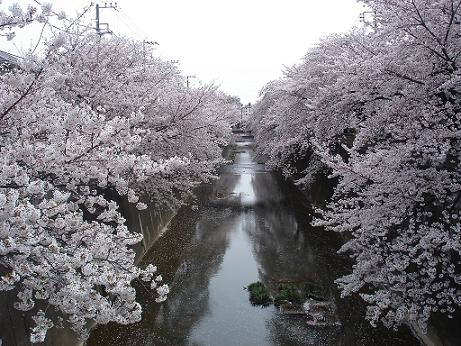 sakura-shakujii.jpg